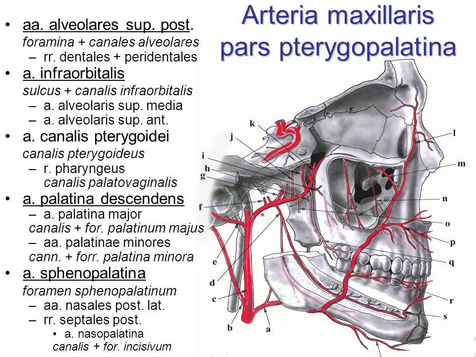 Arteria maxillaris pars pterygopalatina aa. alveolares sup. post. foramina + canales alveolares –rr. dentales + peridentales a. infraorbitalis sulcus