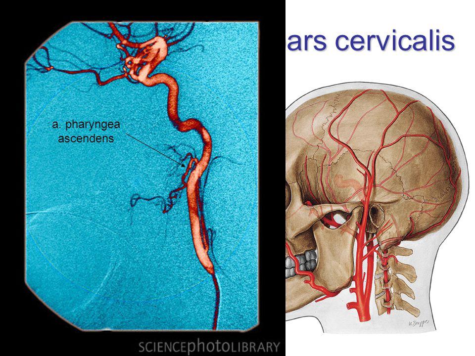 A. carotis interna – pars cervicalis žádné větve na krku laterálně  dorzálně  dorzomediálně od ACExt. vagina carotica sinus caroticus (baroreceptor)