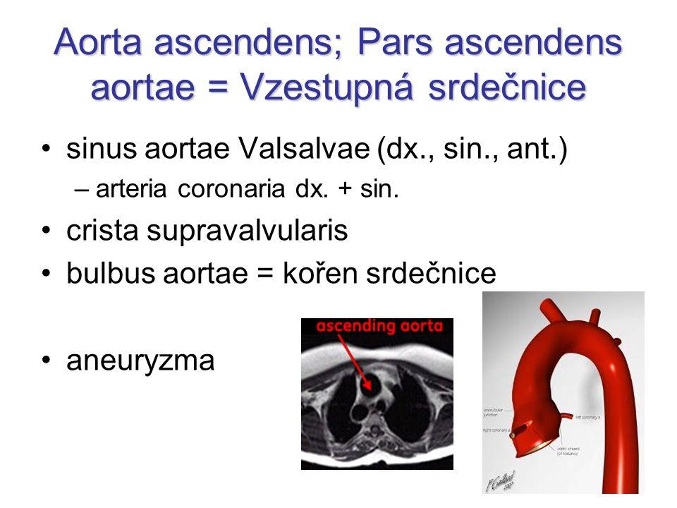 Aorta ascendens; Pars ascendens aortae = Vzestupná srdečnice sinus aortae Valsalvae (dx., sin., ant.) –arteria coronaria dx. + sin. crista supravalvul