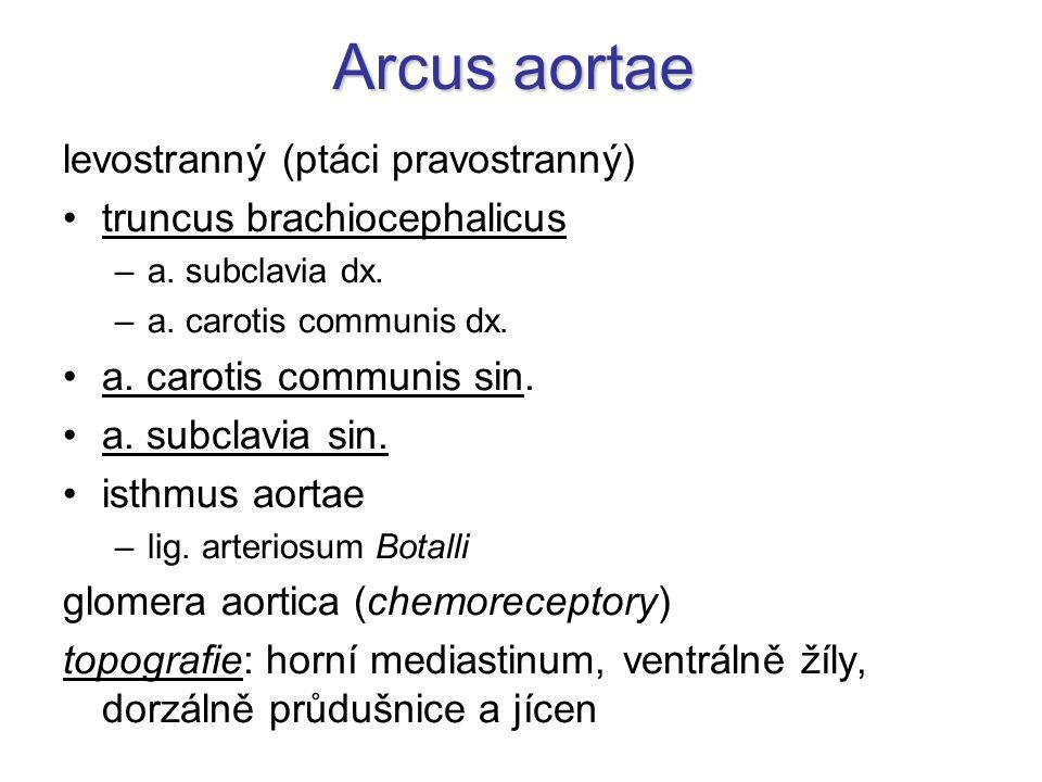 Arcus aortae levostranný (ptáci pravostranný) truncus brachiocephalicus –a. subclavia dx. –a. carotis communis dx. a. carotis communis sin. a. subclav