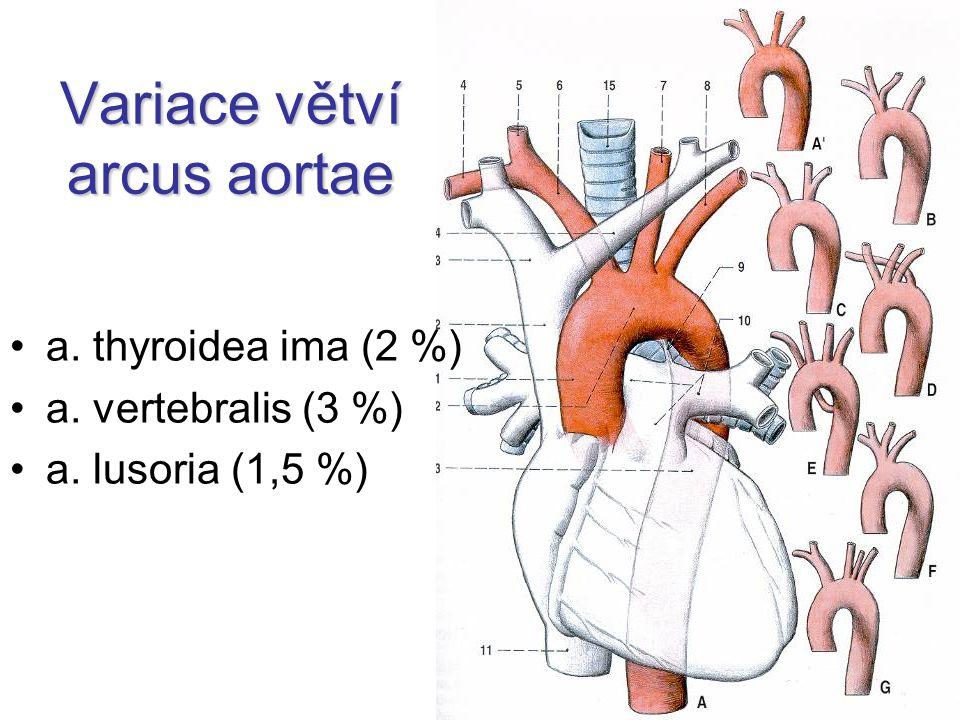 Arteria basilaris 2 aa.vertebrales → a. basilaris a.