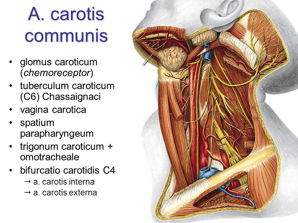 A. carotis communis glomus caroticum (chemoreceptor) tuberculum caroticum (C6) Chassaignaci vagina carotica spatium parapharyngeum trigonum caroticum