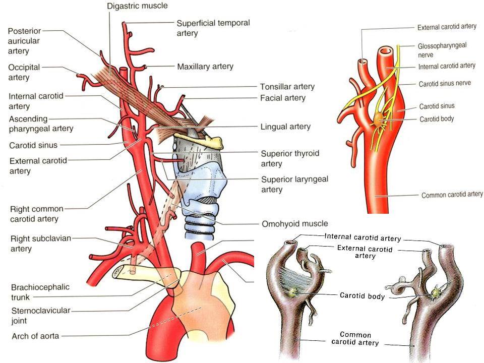 A.carotis interna – pars cerebralis a. ophthalmica a.
