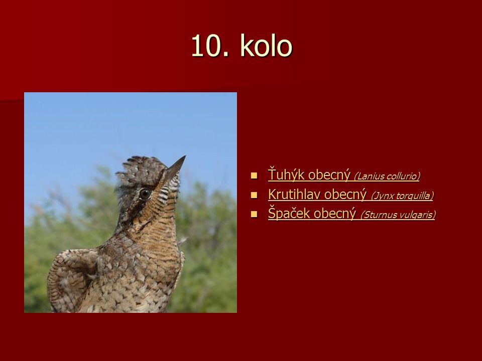 10. kolo Ťuhýk obecný (Lanius collurio) Ťuhýk obecný (Lanius collurio) Ťuhýk obecný (Lanius collurio) Ťuhýk obecný (Lanius collurio) Krutihlav obecný