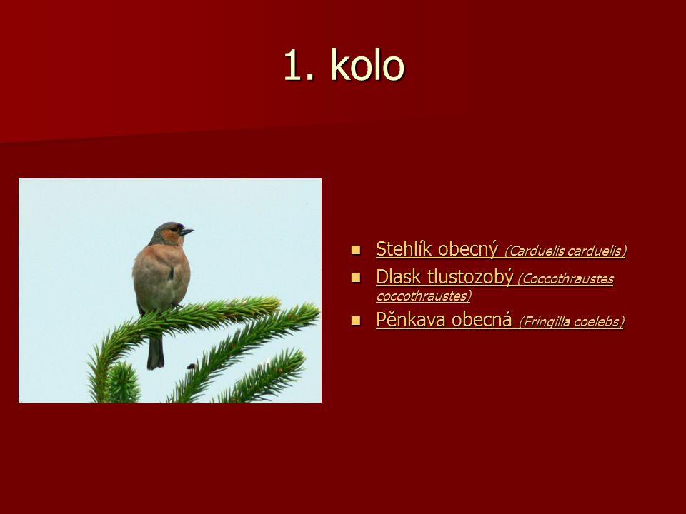 1. kolo Stehlík obecný (Carduelis carduelis) Stehlík obecný (Carduelis carduelis) Stehlík obecný (Carduelis carduelis) Stehlík obecný (Carduelis cardu
