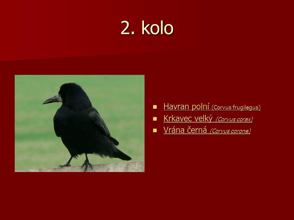 2. kolo Havran polní (Corvus frugilegus) Havran polní (Corvus frugilegus) Havran polní (Corvus frugilegus) Havran polní (Corvus frugilegus) Krkavec ve