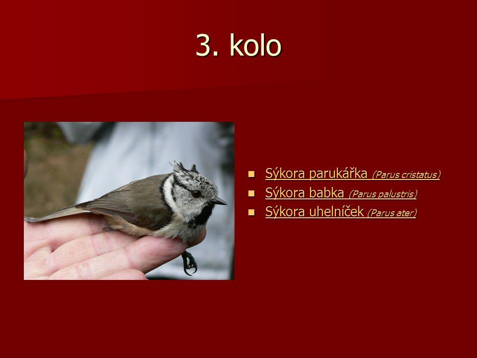 3. kolo Sýkora parukářka (Parus cristatus) Sýkora parukářka (Parus cristatus) Sýkora parukářka (Parus cristatus) Sýkora parukářka (Parus cristatus) Sý