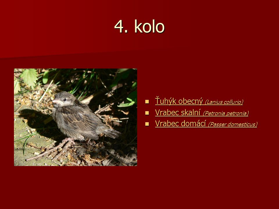4. kolo Ťuhýk obecný (Lanius collurio) Ťuhýk obecný (Lanius collurio) Ťuhýk obecný (Lanius collurio) Ťuhýk obecný (Lanius collurio) Vrabec skalní (Pet