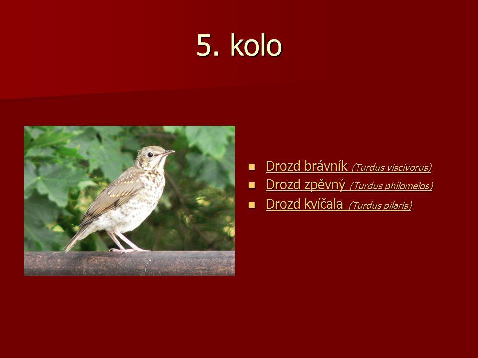 5. kolo Drozd brávník (Turdus viscivorus) Drozd brávník (Turdus viscivorus) Drozd brávník (Turdus viscivorus) Drozd brávník (Turdus viscivorus) Drozd