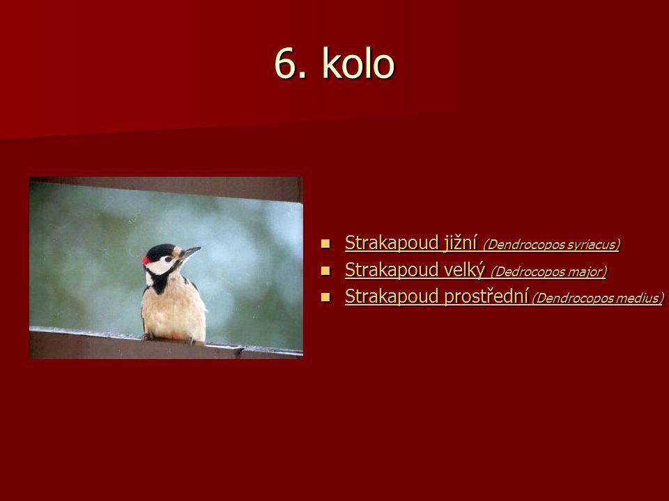 6. kolo Strakapoud jižní (Dendrocopos syriacus) Strakapoud jižní (Dendrocopos syriacus) Strakapoud jižní (Dendrocopos syriacus) Strakapoud jižní (Dend