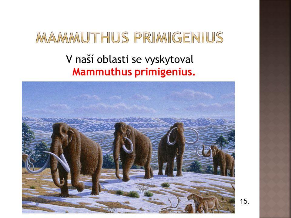 V naší oblasti se vyskytoval Mammuthus primigenius. 15.