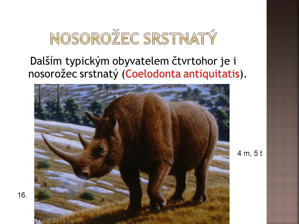 Dalším typickým obyvatelem čtvrtohor je i nosorožec srstnatý (Coelodonta antiquitatis).