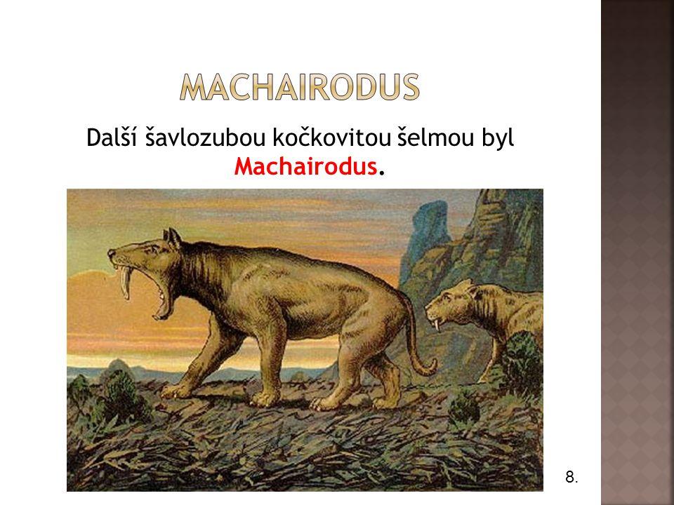 Další šavlozubou kočkovitou šelmou byl Machairodus. 8.