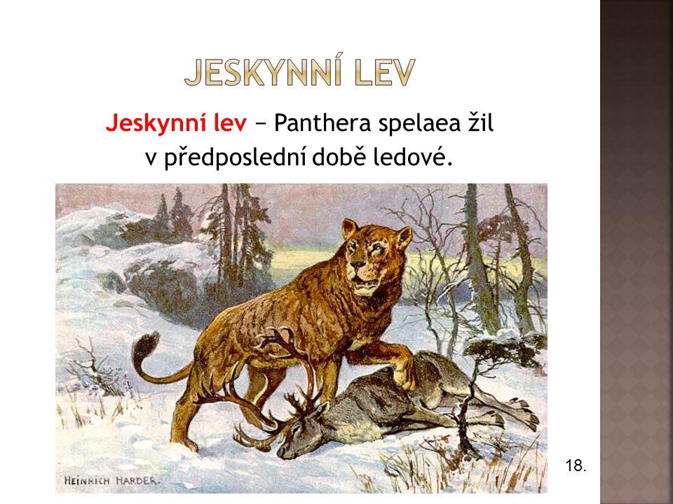 Jeskynní lev − Panthera spelaea žil v předposlední době ledové. 18.