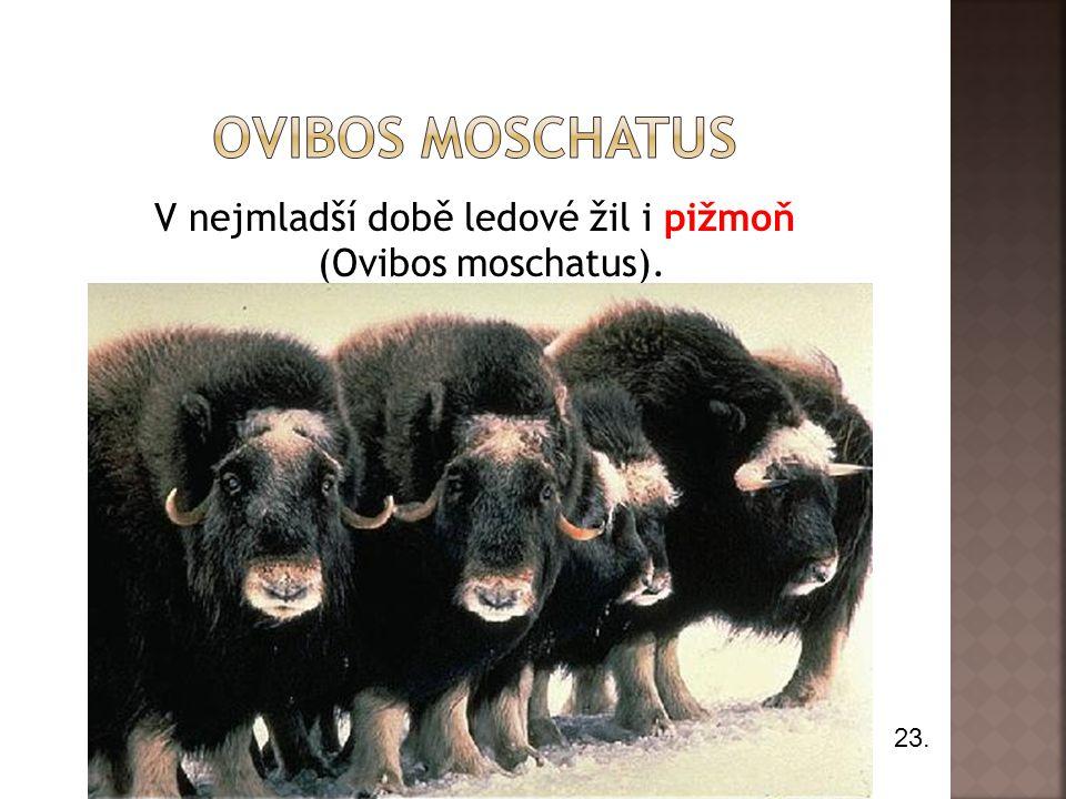 V nejmladší době ledové žil i pižmoň (Ovibos moschatus). 23.