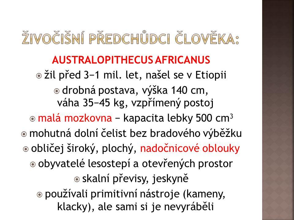 AUSTRALOPITHECUS AFRICANUS  žil před 3−1 mil.
