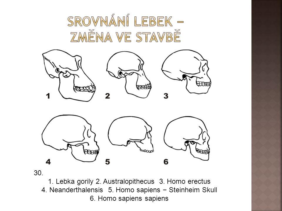 30.1. Lebka gorily 2. Australopithecus 3. Homo erectus 4.