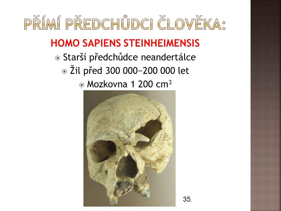 HOMO SAPIENS STEINHEIMENSIS  Starší předchůdce neandertálce  Žil před 300 000−200 000 let  Mozkovna 1 200 cm 3 35.