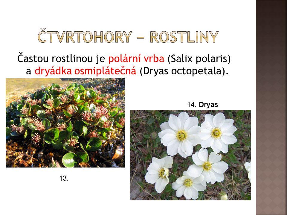 Častou rostlinou je polární vrba (Salix polaris) a dryádka osmiplátečná (Dryas octopetala).