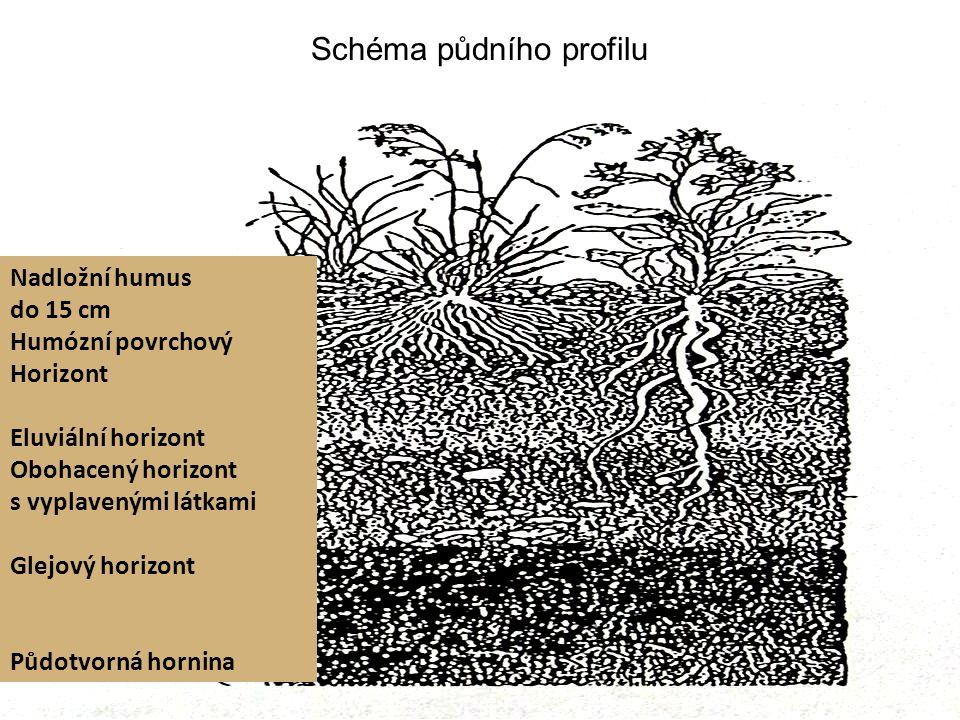 Schéma půdního profilu Nadložní humus do 15 cm Humózní povrchový Horizont Eluviální horizont Obohacený horizont s vyplavenými látkami Glejový horizont