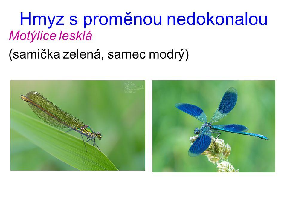 Hmyz s proměnou nedokonalou Motýlice lesklá (samička zelená, samec modrý)