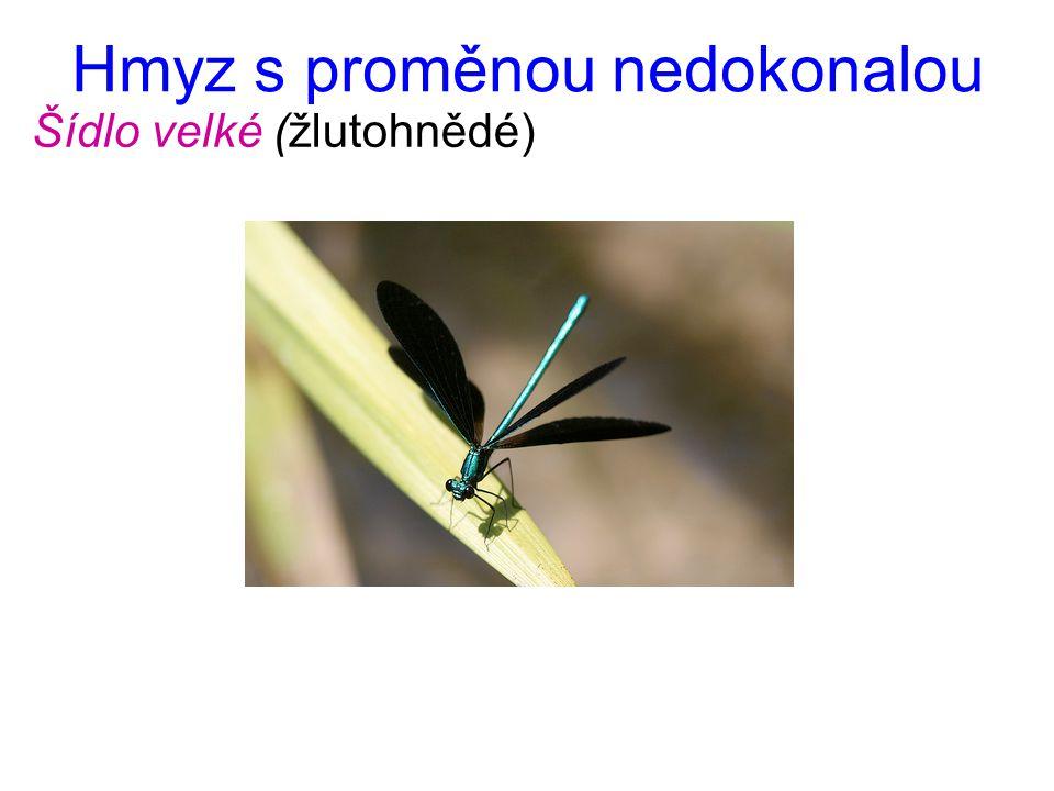 Hmyz s proměnou nedokonalou Šídlo velké (žlutohnědé)