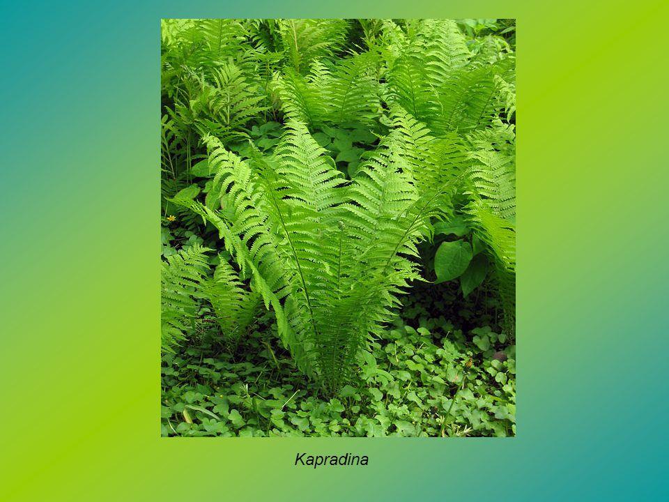 Kapradina