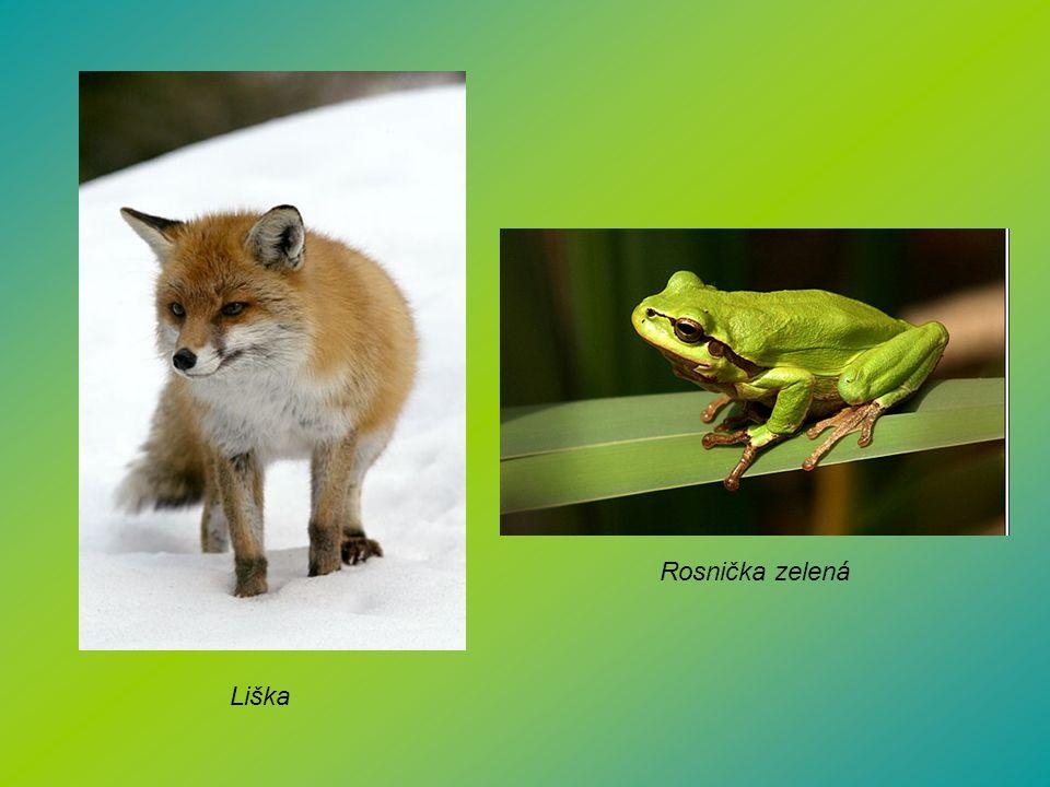 Liška Rosnička zelená