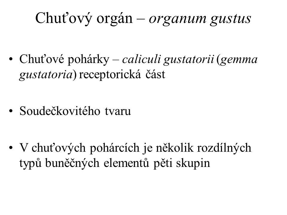 Chuťový orgán – organum gustus Chuťové pohárky – caliculi gustatorii (gemma gustatoria) receptorická část Soudečkovitého tvaru V chuťových pohárcích j