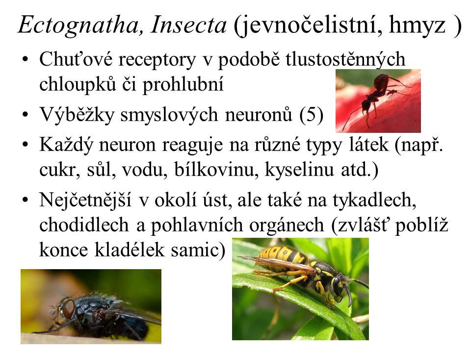 Ectognatha, Insecta (jevnočelistní, hmyz ) Chuťové receptory v podobě tlustostěnných chloupků či prohlubní Výběžky smyslových neuronů (5) Každý neuron