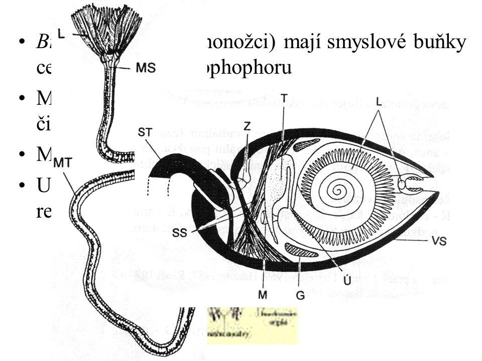 Brachiopoda (ramenonožci) mají smyslové buňky centralizovány na lophophoru Mihule, paryby a ryby receptory na dně čichových jamek Mihule jednu, ostatn