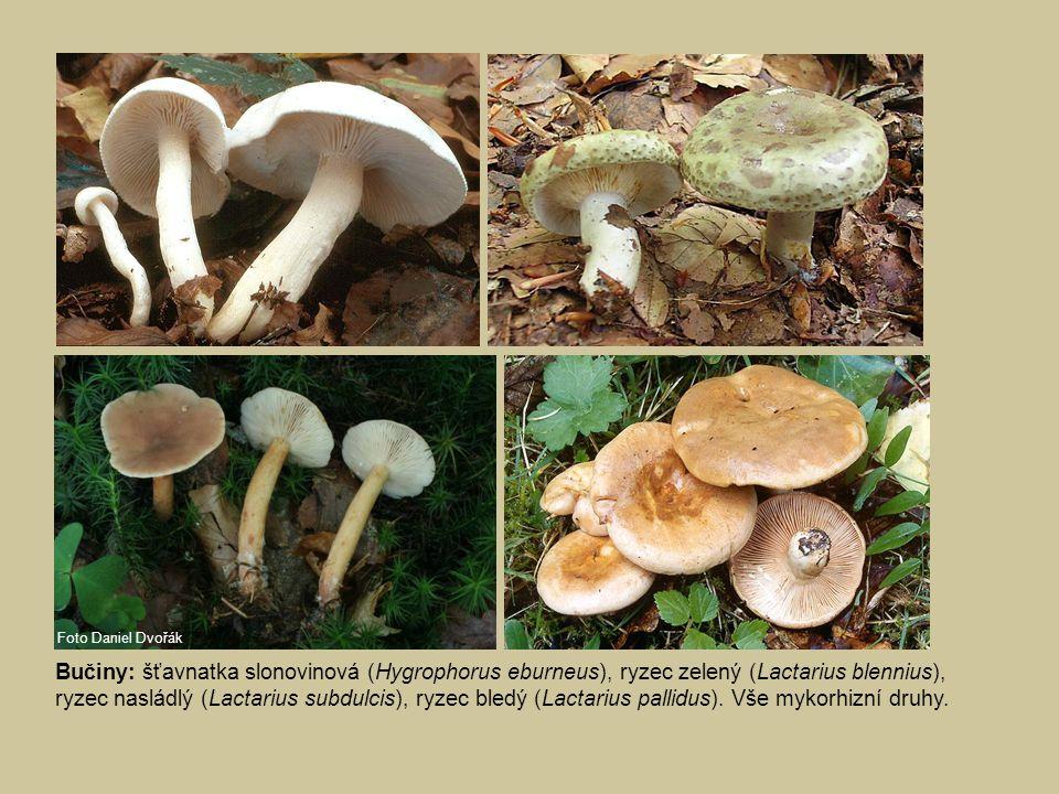 Bučiny: šťavnatka slonovinová (Hygrophorus eburneus), ryzec zelený (Lactarius blennius), ryzec nasládlý (Lactarius subdulcis), ryzec bledý (Lactarius pallidus).