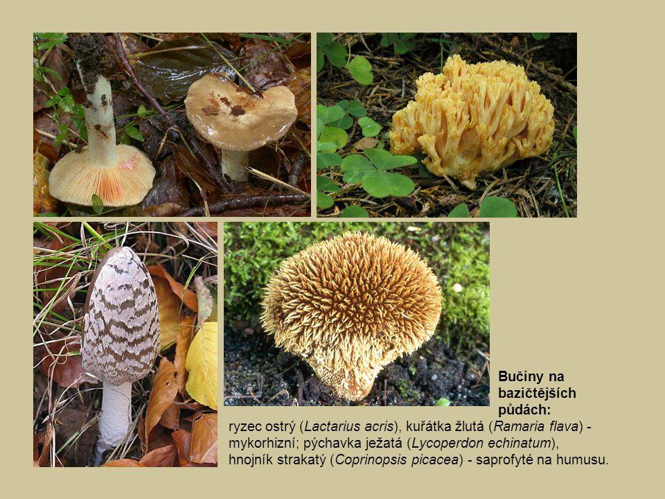 Bučiny na bazičtějších půdách: ryzec ostrý (Lactarius acris), kuřátka žlutá (Ramaria flava) - mykorhizní; pýchavka ježatá (Lycoperdon echinatum), hnojník strakatý (Coprinopsis picacea) - saprofyté na humusu.