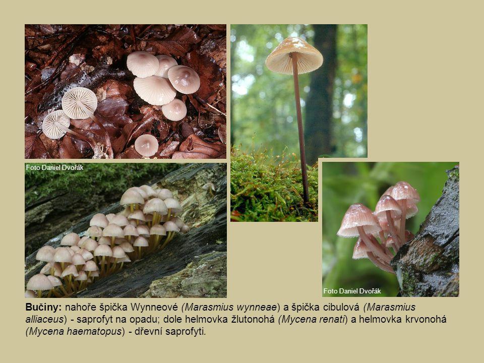 Bučiny: nahoře špička Wynneové (Marasmius wynneae) a špička cibulová (Marasmius alliaceus) - saprofyt na opadu; dole helmovka žlutonohá (Mycena renati