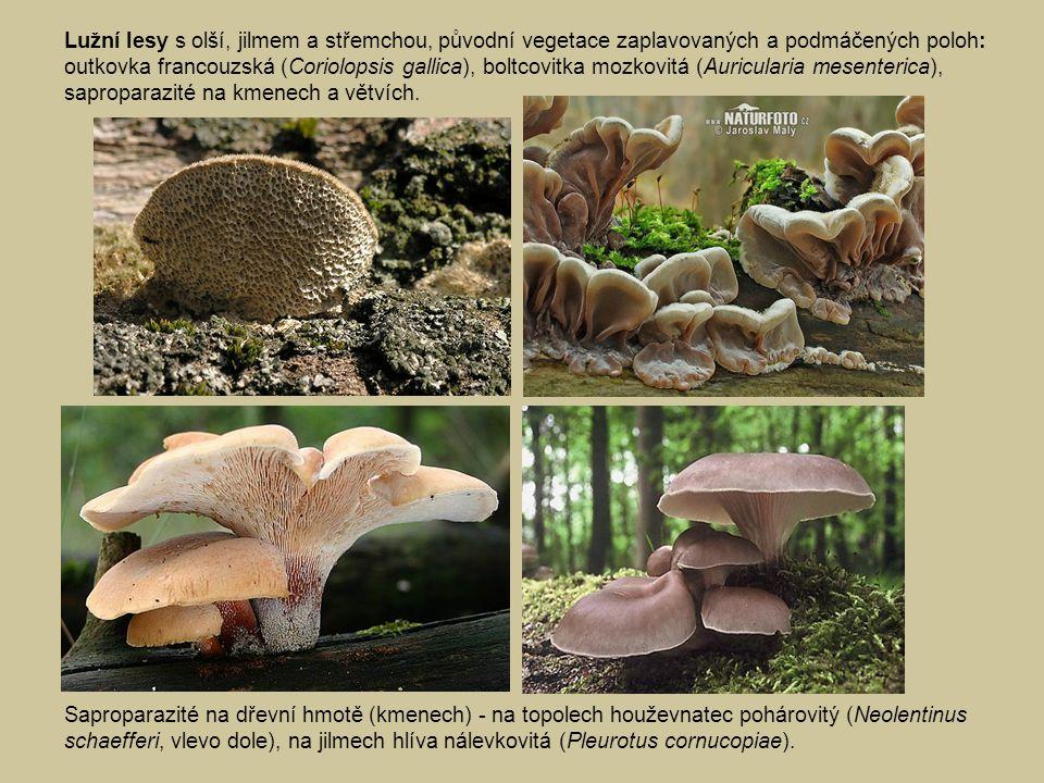 Saproparazité na dřevní hmotě (kmenech) - na topolech houževnatec pohárovitý (Neolentinus schaefferi, vlevo dole), na jilmech hlíva nálevkovitá (Pleurotus cornucopiae).
