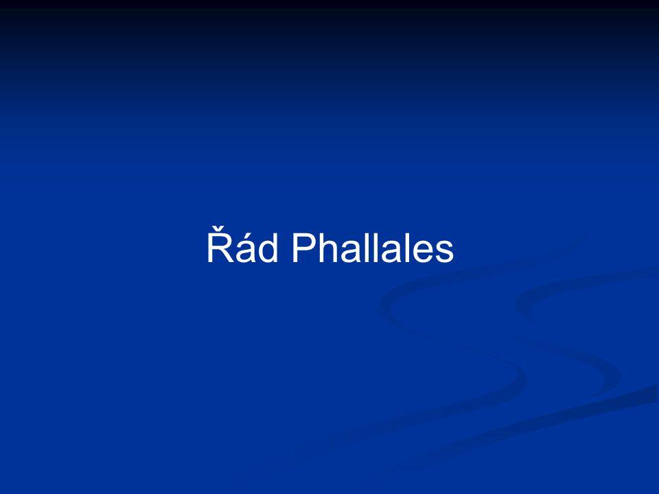 Řád Phallales