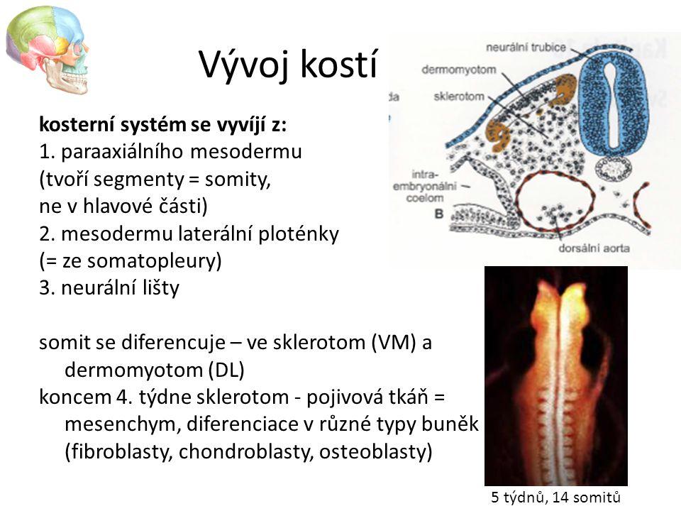 kosterní systém se vyvíjí z: 1. paraaxiálního mesodermu (tvoří segmenty = somity, ne v hlavové části) 2. mesodermu laterální ploténky (= ze somatopleu
