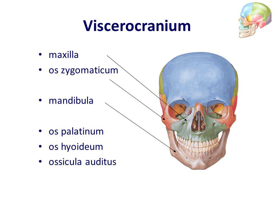 Viscerocranium maxilla os zygomaticum mandibula os palatinum os hyoideum ossicula auditus