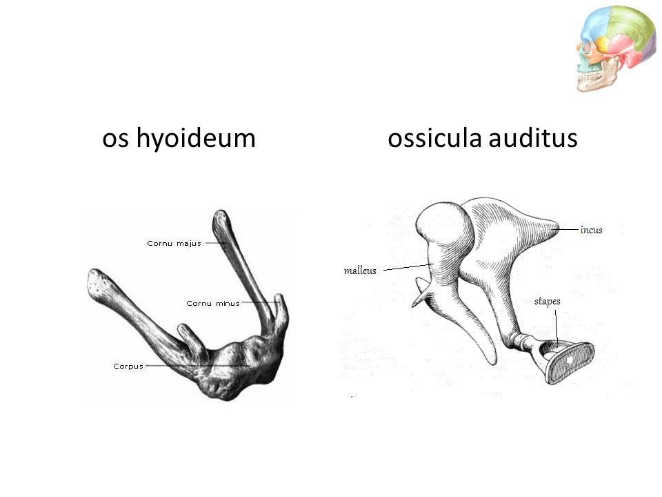 os hyoideumossicula auditus