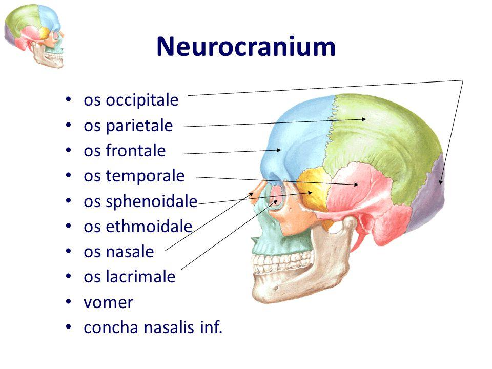 Neurocranium os occipitale os parietale os frontale os temporale os sphenoidale os ethmoidale os nasale os lacrimale vomer concha nasalis inf.