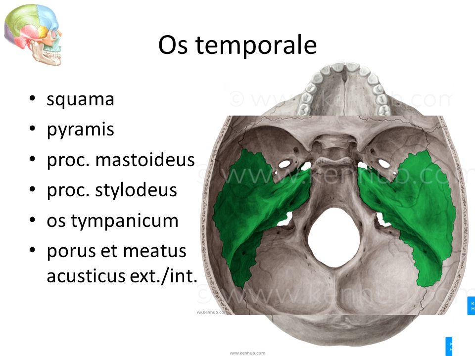 Os temporale squama pyramis proc. mastoideus proc. stylodeus os tympanicum porus et meatus acusticus ext./int.