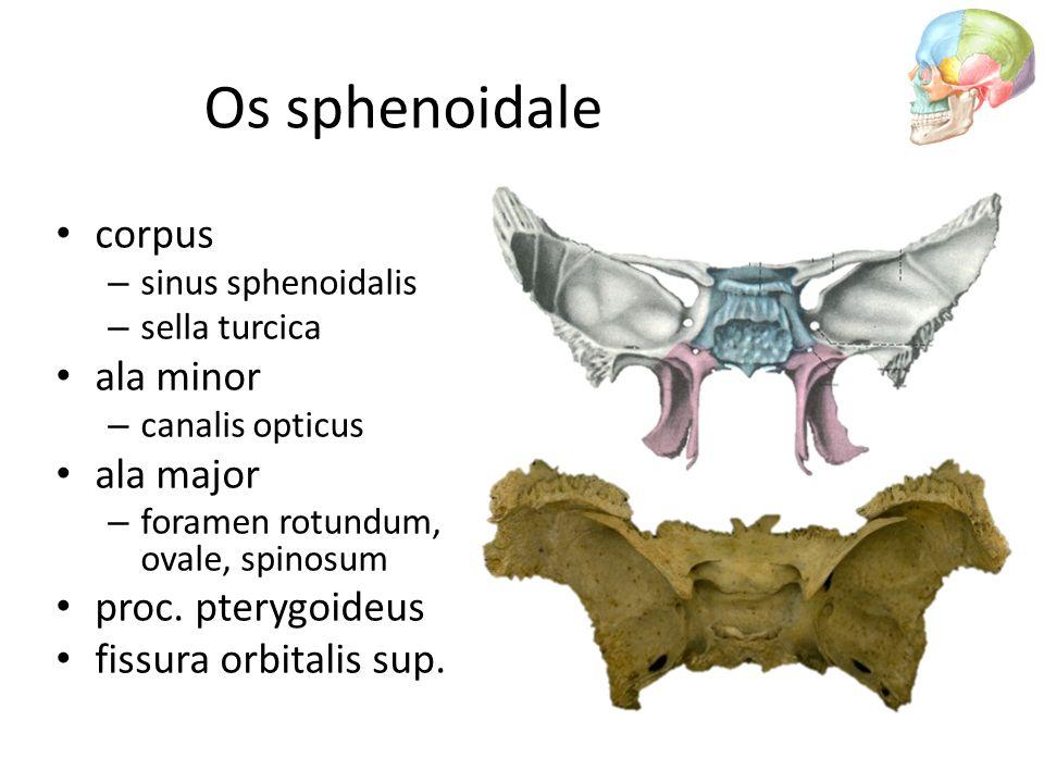 corpus – sinus sphenoidalis – sella turcica ala minor – canalis opticus ala major – foramen rotundum, ovale, spinosum proc. pterygoideus fissura orbit