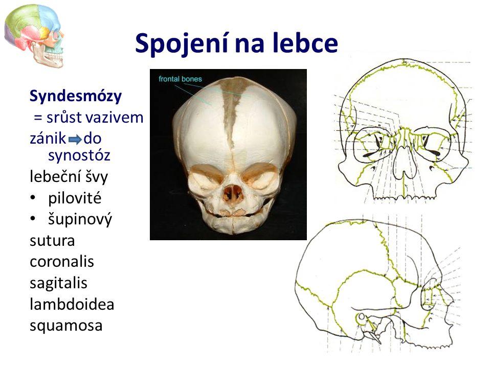 Spojení na lebce Syndesmózy = srůst vazivem zánik – do synostóz lebeční švy pilovité šupinový sutura coronalis sagitalis lambdoidea squamosa