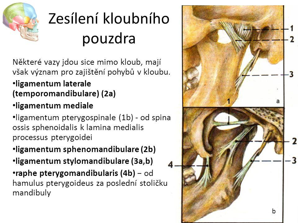 Zesílení kloubního pouzdra 1 Některé vazy jdou sice mimo kloub, mají však význam pro zajištění pohybů v kloubu. ligamentum laterale (temporomandibular