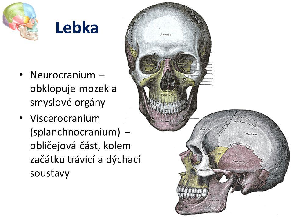 Lebka Neurocranium – obklopuje mozek a smyslové orgány Viscerocranium (splanchnocranium) – obličejová část, kolem začátku trávicí a dýchací soustavy