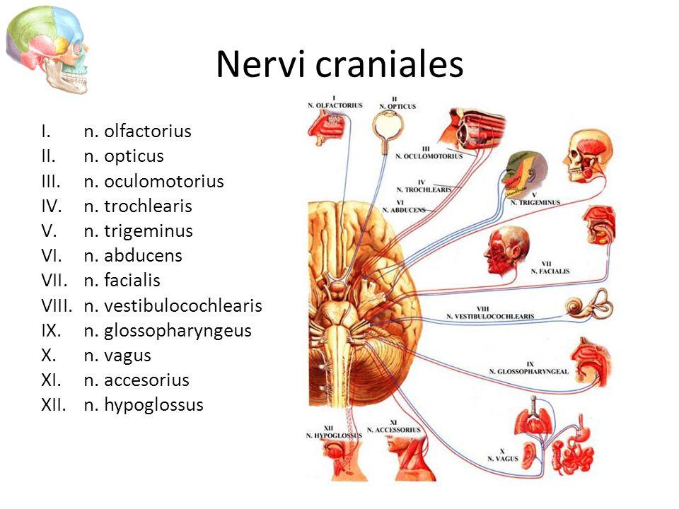 Nervi craniales I.n. olfactorius II.n. opticus III.n. oculomotorius IV.n. trochlearis V.n. trigeminus VI.n. abducens VII.n. facialis VIII.n. vestibulo