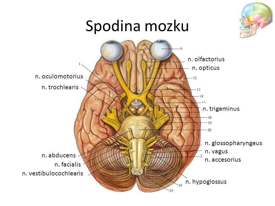 Spodina mozku n. olfactorius n. opticus n. oculomotorius n. trochlearis n. trigeminus n. abducens n. facialis n. vestibulocochlearis n. glossopharynge