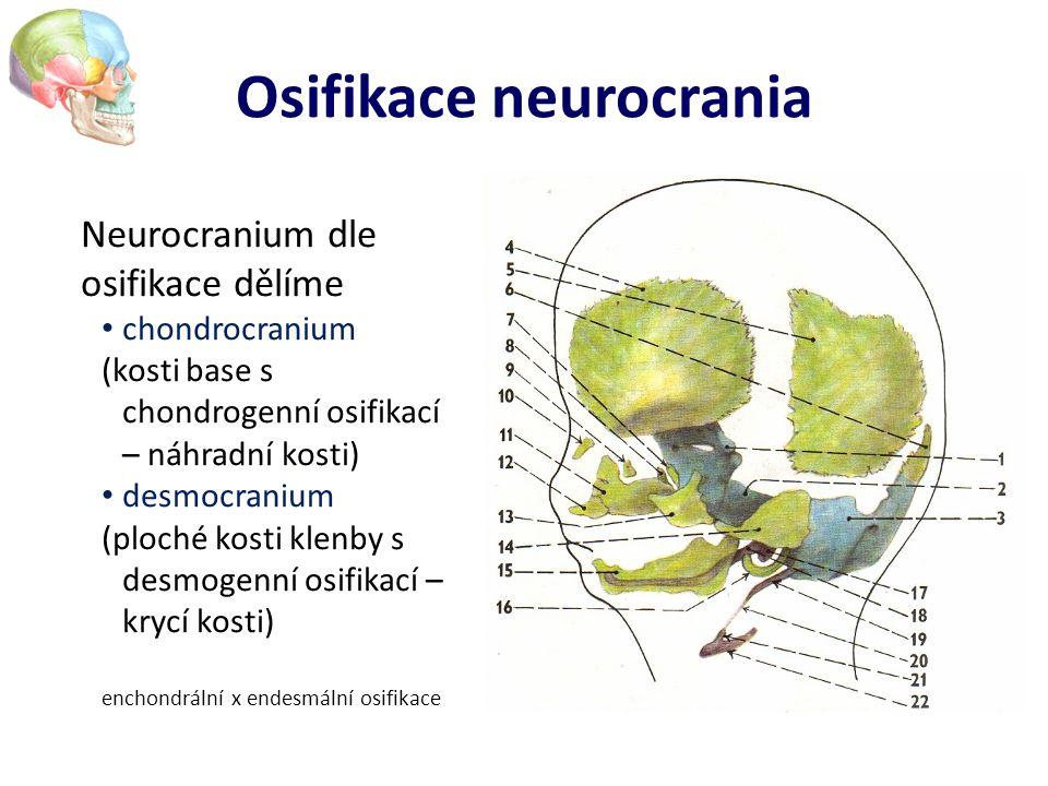 Osifikace neurocrania Neurocranium dle osifikace dělíme chondrocranium (kosti base s chondrogenní osifikací – náhradní kosti) desmocranium (ploché kos