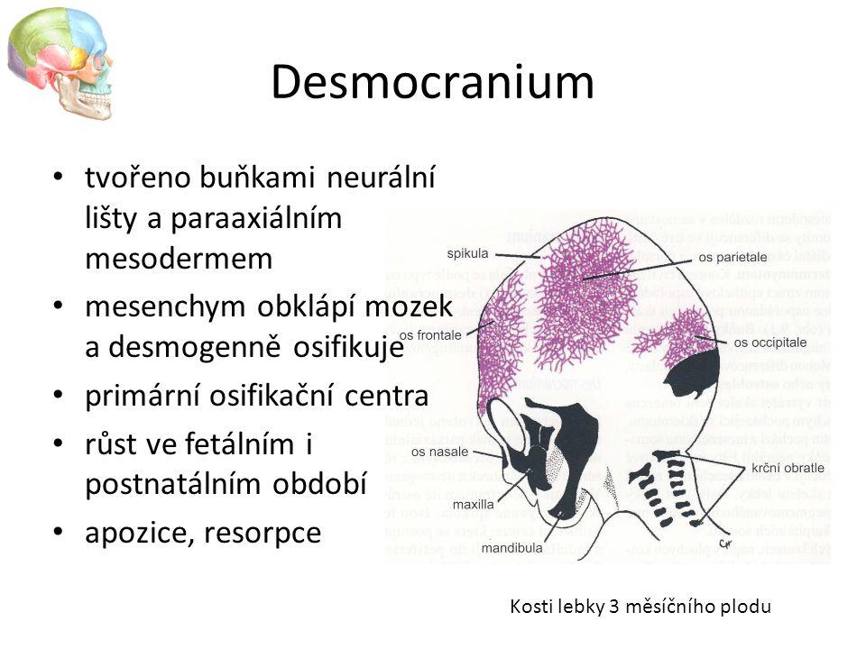 Desmocranium tvořeno buňkami neurální lišty a paraaxiálním mesodermem mesenchym obklápí mozek a desmogenně osifikuje primární osifikační centra růst v