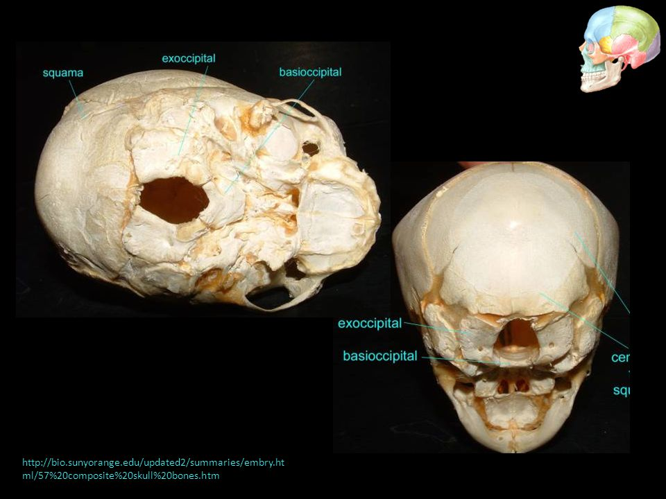 http://bio.sunyorange.edu/updated2/summaries/embry.ht ml/57%20composite%20skull%20bones.htm